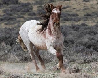 The Strawberry Roan Mare Runs Up - Wild Horse - Adobe Town - Fine Art Print