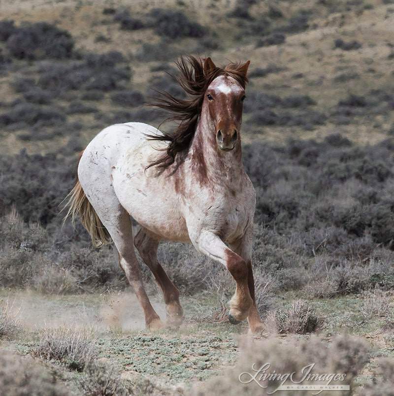 The Strawberry Roan Mare Runs Up Wild Horse Adobe Town - photo#43