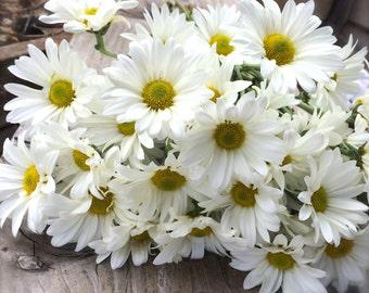 CLEARANCE SALE! Shasta Daisies Perennial Quintessential Cutting Garden Cottage Garden easy to grow Alaska Variety Flower Seeds
