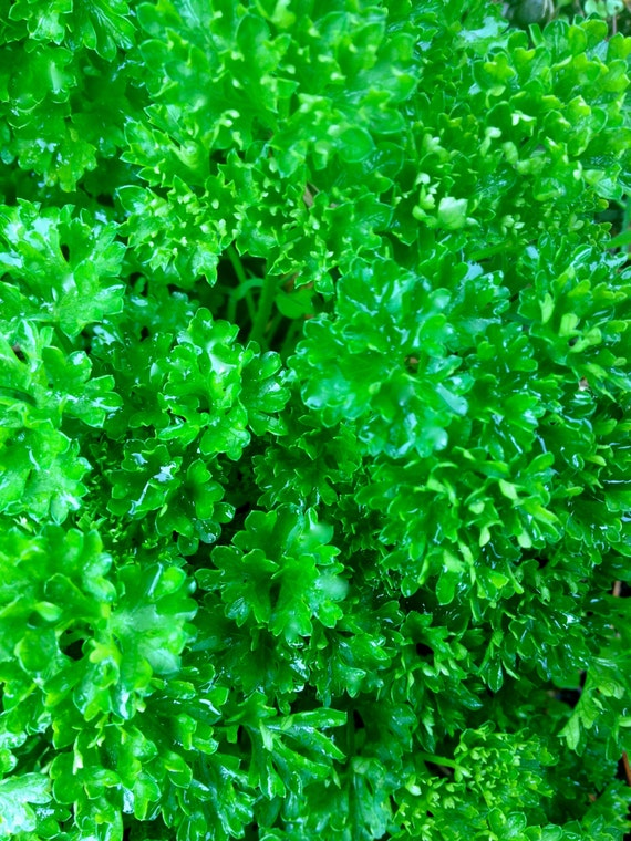 Curly Parsley CLEARANCE SALE Grun Perle French Organic Heirloom Seeds