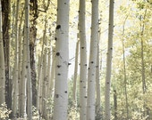 Aspen Trees Forest Photography Print 11x14 Fine Art Colorado Woodland Fall Foliage Autumn Landscape Photography Print.