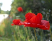 Red poppies, flower photograph, summer, red and green, nature photograph, set of 2, diptych, Remembrance day,