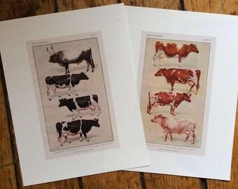 cow prints - farm animal cattle print - set of two - domestic bovine steer digital print