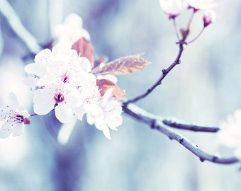 blossom photography nature spring wall decor 8x10 24x36 fine art photography floral winter blossom cherry blossom blue lilac pastel large
