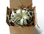Xerographica Air Plant Gift Set -- the King of Air Plant Tillandsia Xerographica, Air Plant Gift Box, Wrapped and Ready for Gift Giving!