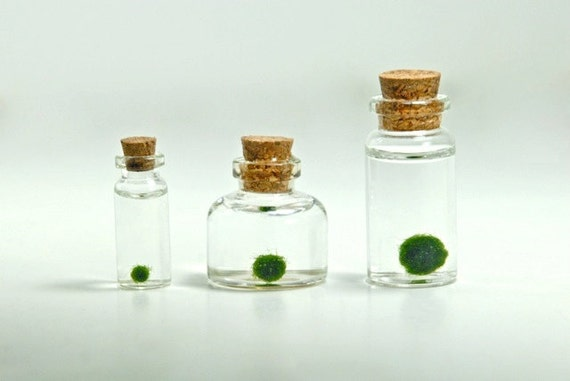 A Family of Three Assorted Sizes of Miniature Marimo Moss Ball Bottles - Super Mini Bottles, Dollhouse Miniature Bottles with Living Plants