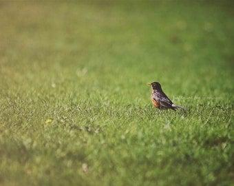 Spring Robin Fine Art Photography Bird Michigan Green Grass Nature Minimalist Home