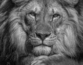 Lion photograph art print. Lion head photography gift for guys, present for men. Mancave, man cave wall decor. Boys room wall art Leo zodiac