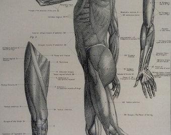 Original Vintage Print Human Anatomy 1900s Bookplate  Victorian Medical Diagram Muscles Tendons