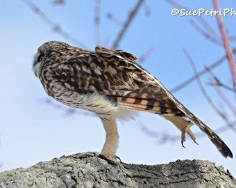 Owl Photos, Short Eared Owl, Stretch, Earthtones, Wildlife Photos, Owl Photography, Nature Photography, Animal Photography