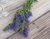 Blue Hyssop Hyssop officinalis Organic Hyssop Herb Bee Magnet Butterfly Plant