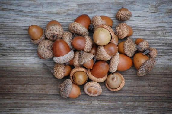 Christmas decoration real acorns a beautiful mix of