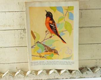 Bird Illustration from 1943 Children's Book Barn Swallow and Baltimore Oriole