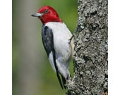 Red Headed Woodpecker - Bird Photography - Bird Photo - Wildlife - Avian - Bird Lover - Wall Decor -