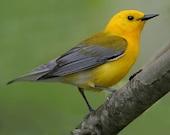 Prothonotary Warbler Photograph, Bird Photography, Bird Print, Wildlife, Bird Perch, Home Decor, Wall Art, Gift For Birdlover