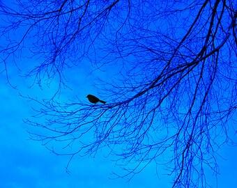 Black Birds Evening Song, Fine Art Photography Animal Print, Nature, Landscape, Blue Home Decor, Black Tree Wall Art, Animal Art, Peaceful