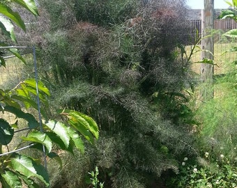 Bronze Fennel SEEDS  -  Foeniculum vulgare 'Purpureum' - medicinal herb