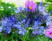 Bees Friend - Lacy Phacelia - Annual