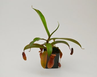 Pitcher Plant Nepenthes Carnivorous Plant / Free Shipping