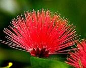 Calliandra tergemina, Red Powderpuff Tree, 10 seeds, showy shrub, zone 9-11, drought-tolerant, container plant, perfect bonsai, hummingbirds