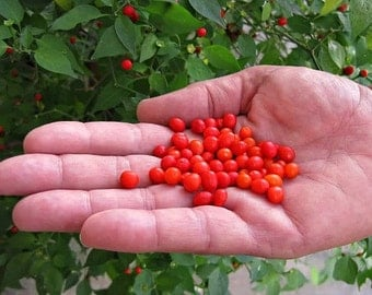 Pequin Pepper, Bird Pepper, tiny wild heirlooom, 10 seeds, pea sized, super hot, citrusy flavor, drought tolerant, pretty ornamental shrub