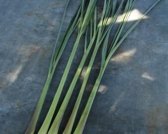 Medicinal Lemongrass Heirloom Herb Seeds