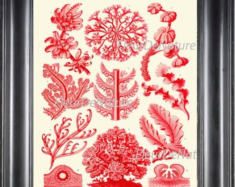 Red Coral Print Ernst Haeckel 8X10 Art 40 Antique Beautiful Red Corals Sea Ocean Nature Science Illustration Picature Home Decor to Frame