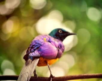 Purple Bird Photo, purple and yellow, fine photography prints, Caught in the Moment