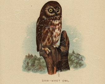 Antique Original  Natural History Colored Bird Print- Saw - Whet Owl