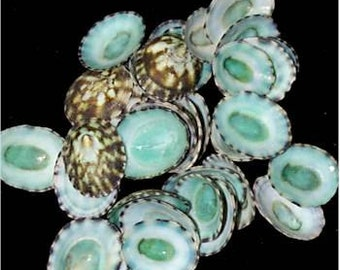 Aqua Limpet Shells, 100 pieces - Beach Decor Seashells - Nautical Decor - Craft Supply