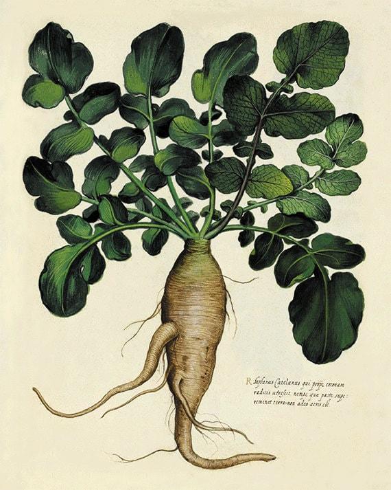 Radish Botanical Drawing | www.imgkid.com - The Image Kid ...