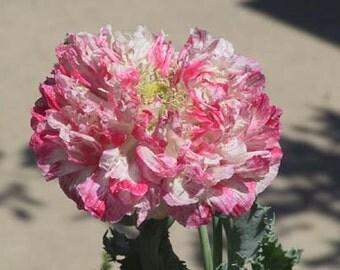 "Poppy seeds- ""Flemish Antique"" (Papaver Paeoniiflorum group) 50+ seeds"