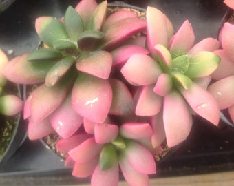 "Succulent Plant Anacampseros ""Sunrise"" beautiful colorful plant. Soft pink to bright fuchsia with emerald green."
