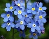 500 - Bulk Forget Me Not Seed - Myosotis - Annual Wildflower, Blue Forget Me Not, Bulk Seed, Blue Flower Seed, Heirloom Flower Seed, Non-gmo
