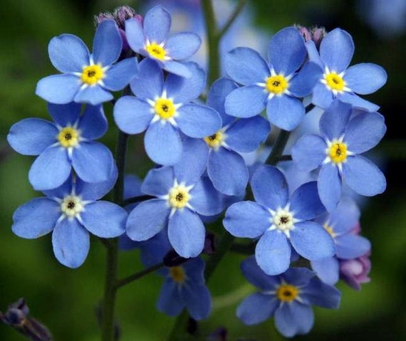 500 bulk forget me not seeds myosotis blue flower seeds. Black Bedroom Furniture Sets. Home Design Ideas