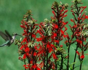 Lobelia cardinalis organic seeds also known as cardinal flower