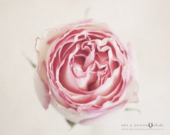 Pink Home Decor, Cream Home Decor, Pink Rose Photograph, Nature Photography, Botanical Print, Pink Rose, Pink Florals, Floral Wall Art.