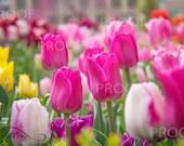 Tulip Gardens at Temple Square {Professional Print}