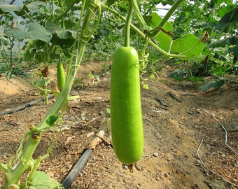 Edible bottle gourd (Asian vegetable) Calabash Gourd Seeds a.K.a lauki, guava bean, opo, kampyo, yugao,Organic HEIRLOOM , Open Pollinated.