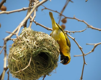 Southern Masked Weaver (3) - Digital Photo for Download - Beautiful African Bird. Yellow and Black Bird. South Africa. Bird Building Nest.