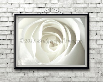 White Rose Print, White Flower Photography, White Floral Print, Nature Photograph, Blooming White Rose Photo, Digital Download