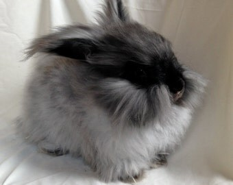 100% English Angora Wool- Undyed- George II Bunny- 1 ounce