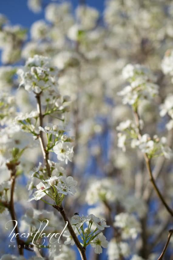 Pear Tree Flower, Flower Photography, White and Blue, Nature Photography, Midwest Print, Nebraska Art, Fine Art Photography, Blue Sky
