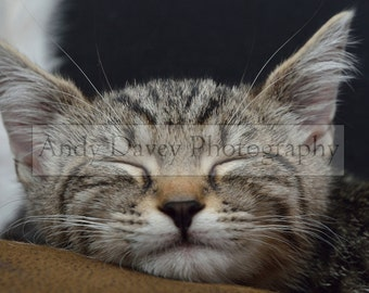 Sleeping grey tabby kitten photo, pet photography, animal photography, kitten print, silver tabby print, tabby cat photo, sleeping cat print