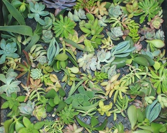 200 BEAUTIFUL Assorted SUCCULENT CUTTINGS perfect for wall gardens wreaths and topiaries Succulents echeverias