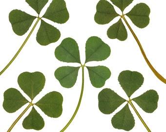 Wholesale 5 pcs Genuine Real 4 Four-Leaf Clover Green Irish Shamrock Pressed Flower Stuff Favours Supplies Crafts Handmade Art Materials L