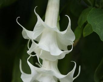 Brugmansia - Angel Trumpet - TRIPLE BLOOM