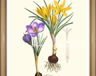 "Botanical Print. Crocus. Spring Flowers. Easter. Wall Decor. Crocus Print. 8x10"" 11x14"""