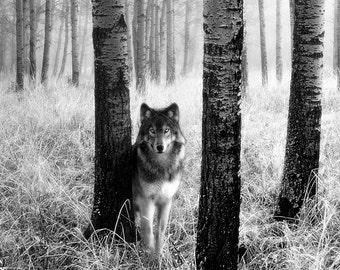 Wolf in the Woods Poster, Lone Wolf, Predator, Gray Wolf, Timber Wolf