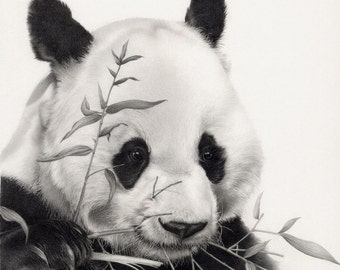 Panda Drawing - Mounted print of original pencil drawing